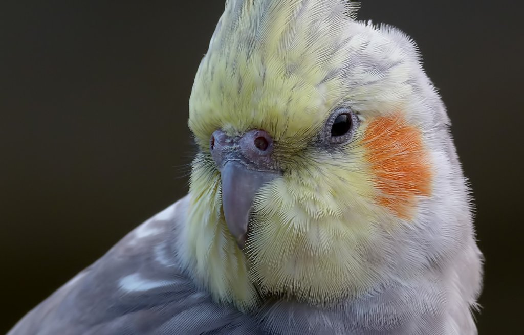 cockatiel_close